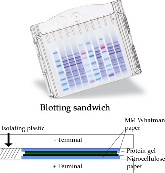 Western Blotting Tamar Laboratory Supplies Ltd